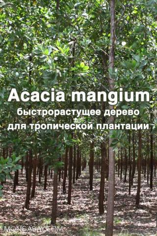 Acacia mangium - быстрорастущее дерево для тропической плантации