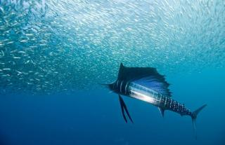 Анчоусы - эти маленькие дивные рыбки