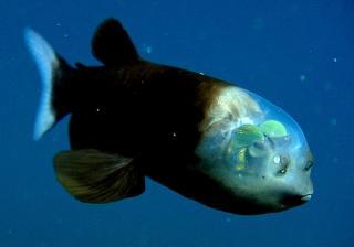 Глубоководное чудо дивное