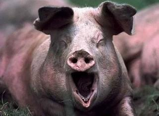 Иерархия у свиней