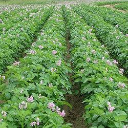 Интегрированная система защиты картофеля