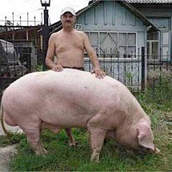Кормление и поение свиноматок