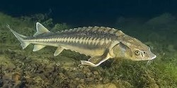 Крушение осетровых рыб Черного моря (СИ)