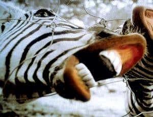 Моя маленькая зебра: секреты приручения