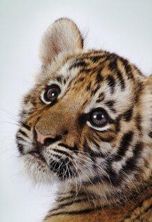 Найден тигр или о пользе объявлений