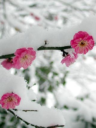Снег в розовых лепестаках сакуры