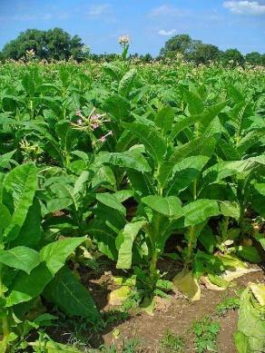 ТАБАК: выращиваем в нечерноземной полосе