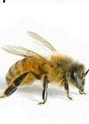 Тайният живот на пчелите