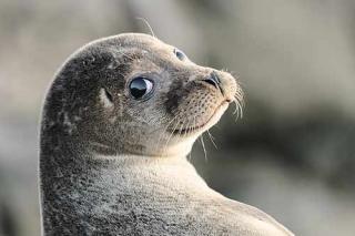 Тюлени, котики и К°
