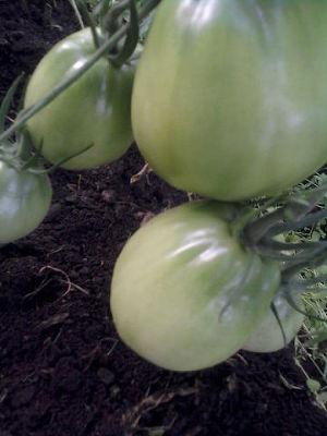 Выращиваем томаты в теплице. Поделюсь опытом (СИ)